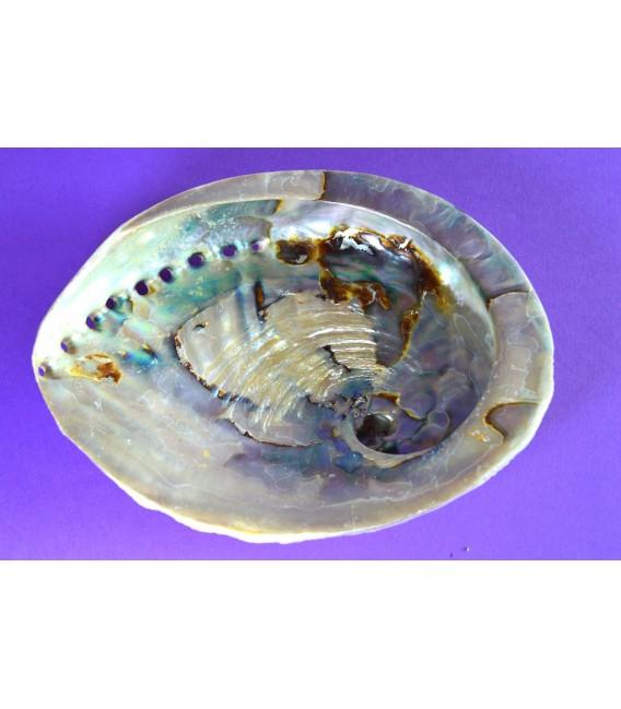 Abalone